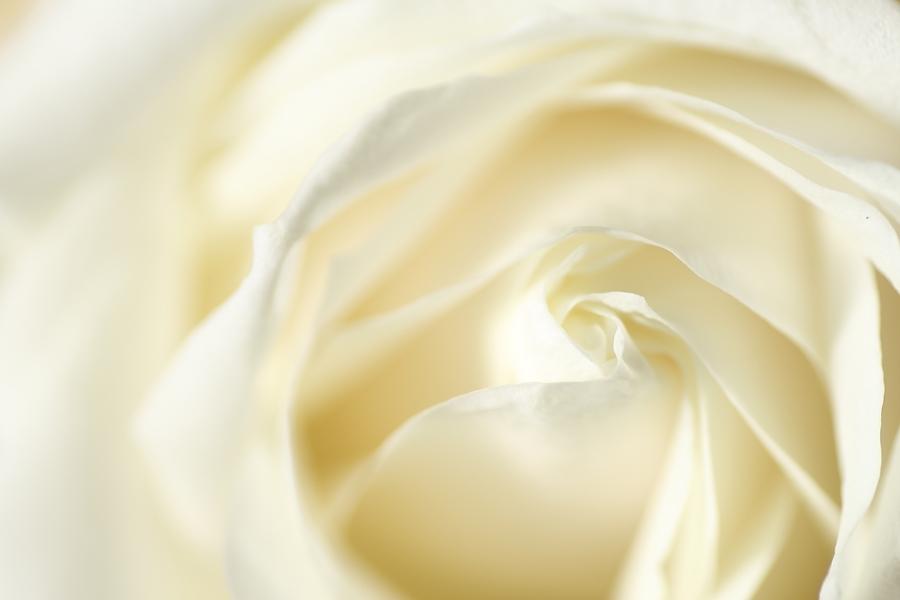milky rose blog.JPG